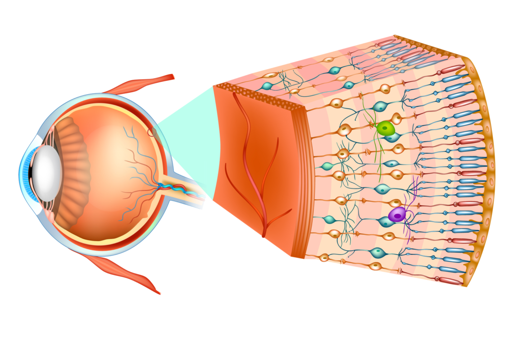 Rendering of the eye with enlarged cross-section of retina